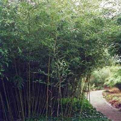 Bambou Phyllostachys bissetii 40/60 cm