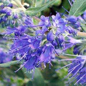 Caryopteris Heavenly Blue bleu 40/50 cm