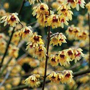 Chimonanthe, Chimonanthus praecox 60/80 cm