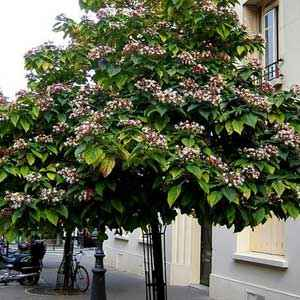 Clerodendron trichotomum 50/60 cm