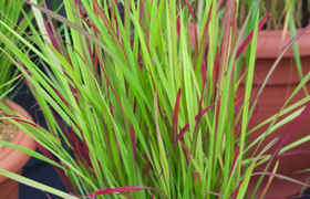 Herbe de sang japonaise « Red Baron » (Imperata cylindrica)