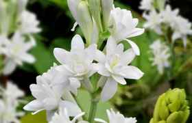 Polianthes Tuberosa The Pearl