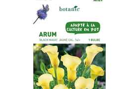 Bulbe d'Arum Black Magic - Jaune