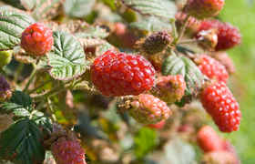 Mûrier Tayberry (Rubus 'Tayberry braam x framboos')
