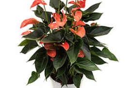 Anthurium Andreanum Matiz orange pot diam. 27 cm - hauteur totale 60 cm