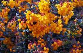 Berberis linearifolia Orange king 30/40 cm