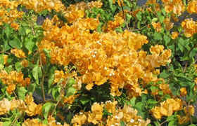 Bougainvillier California Gold 175/200 cm en pot de 10 litres