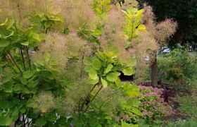 Arbre à perruque Young Lady®, Cotinus coggygria Young Lady® 40/60 cm