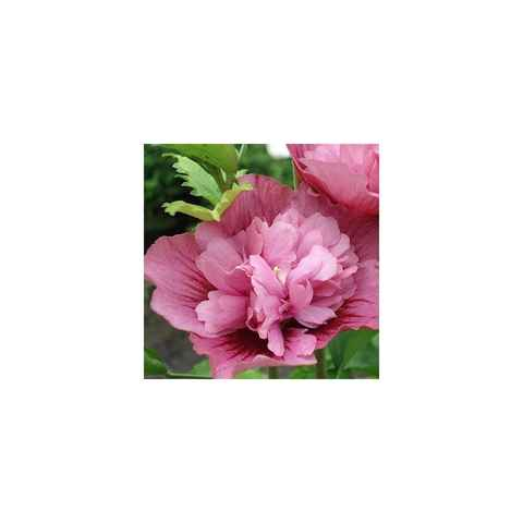Hibiscus syriacus 'Nolwenn'