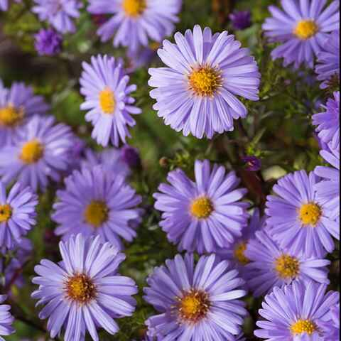 Aster nain d'automne bleu 'Lady in Blue'