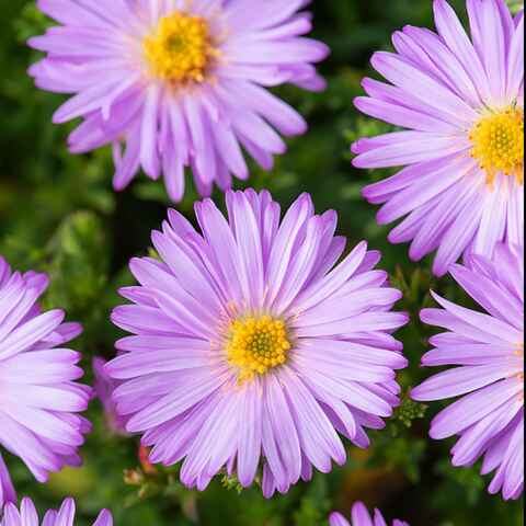 Aster nain d'automne rose 'Marjorie'